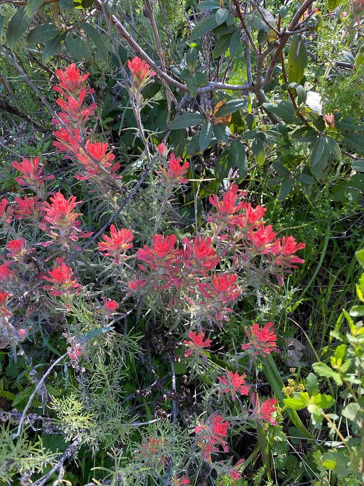 Beautiful red flowers in Sunol Regional Wilderness park