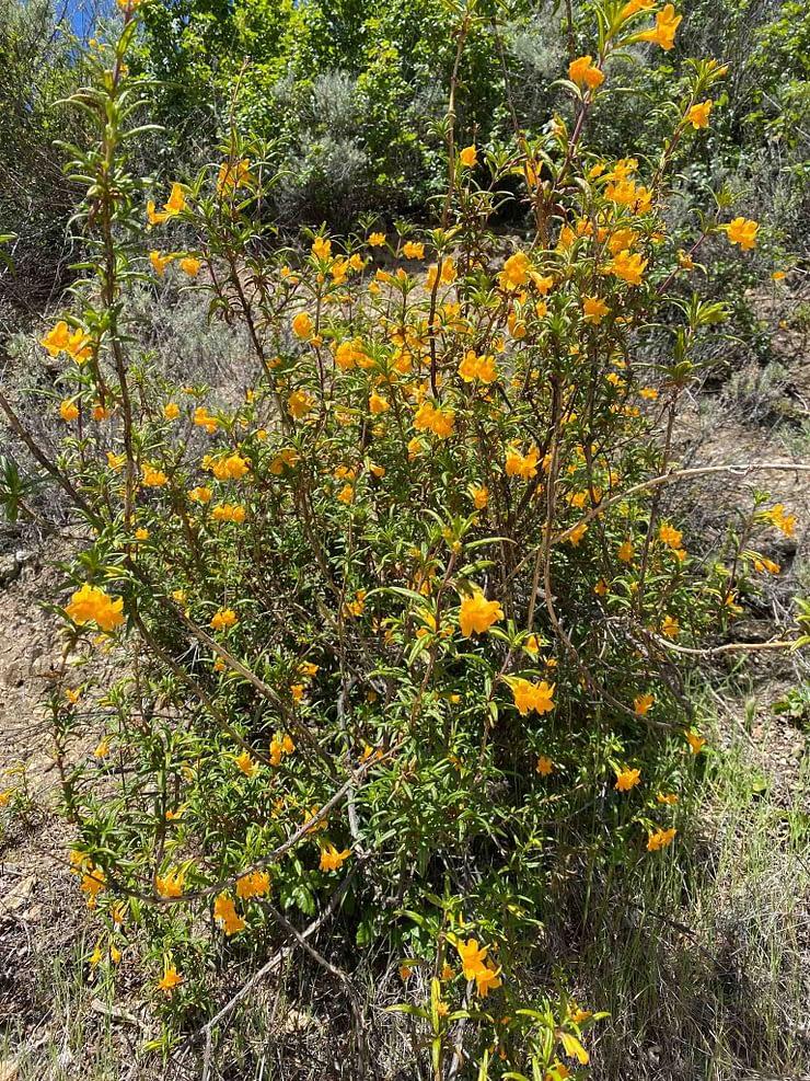 Beautiful yellow flowers in Sunol Regional Wilderness park