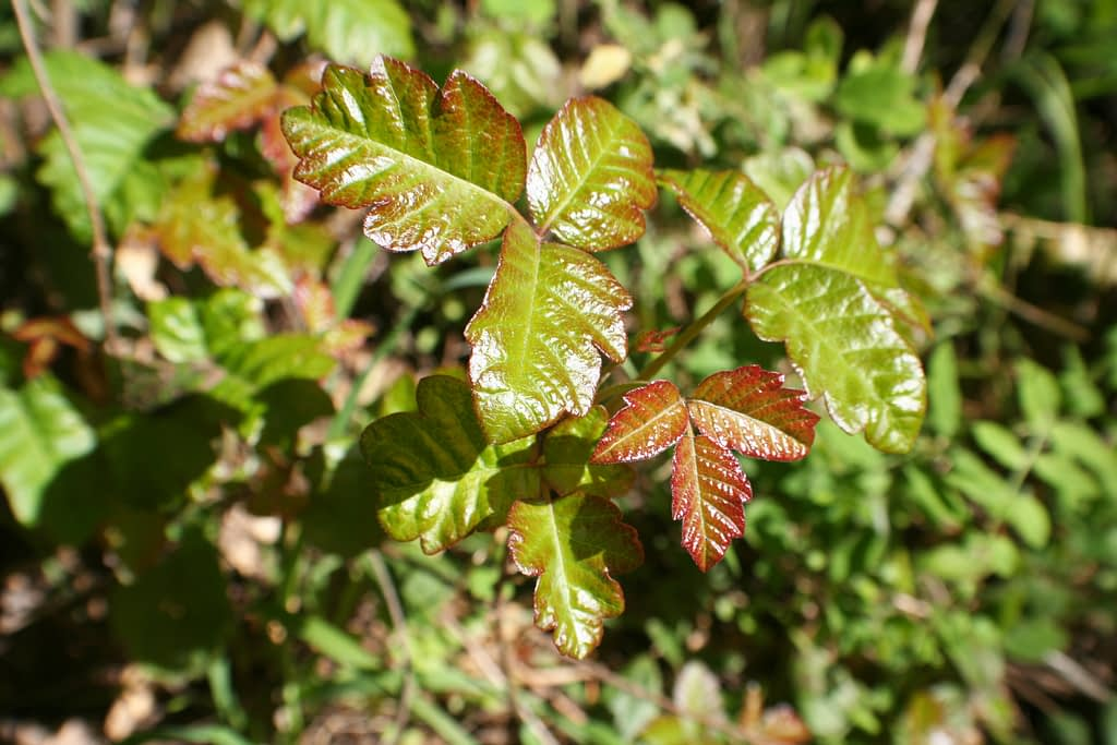 Poison oak can be one of the nasty surprises of a hike in the wilderness