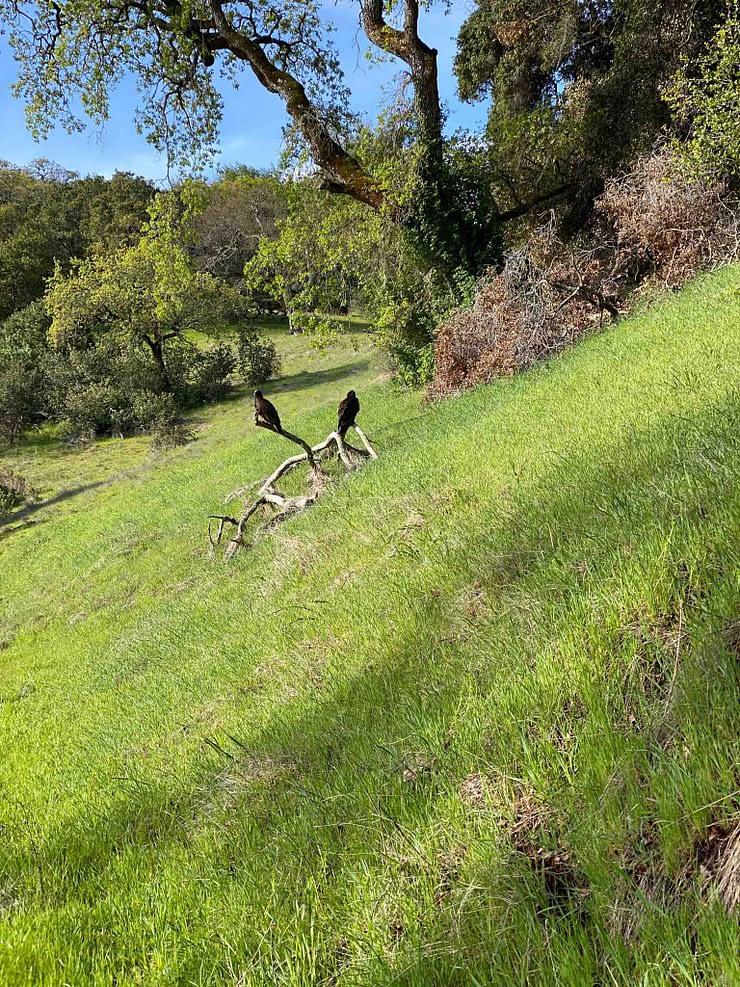 Turkey vultures spot along Olompali State Park hike