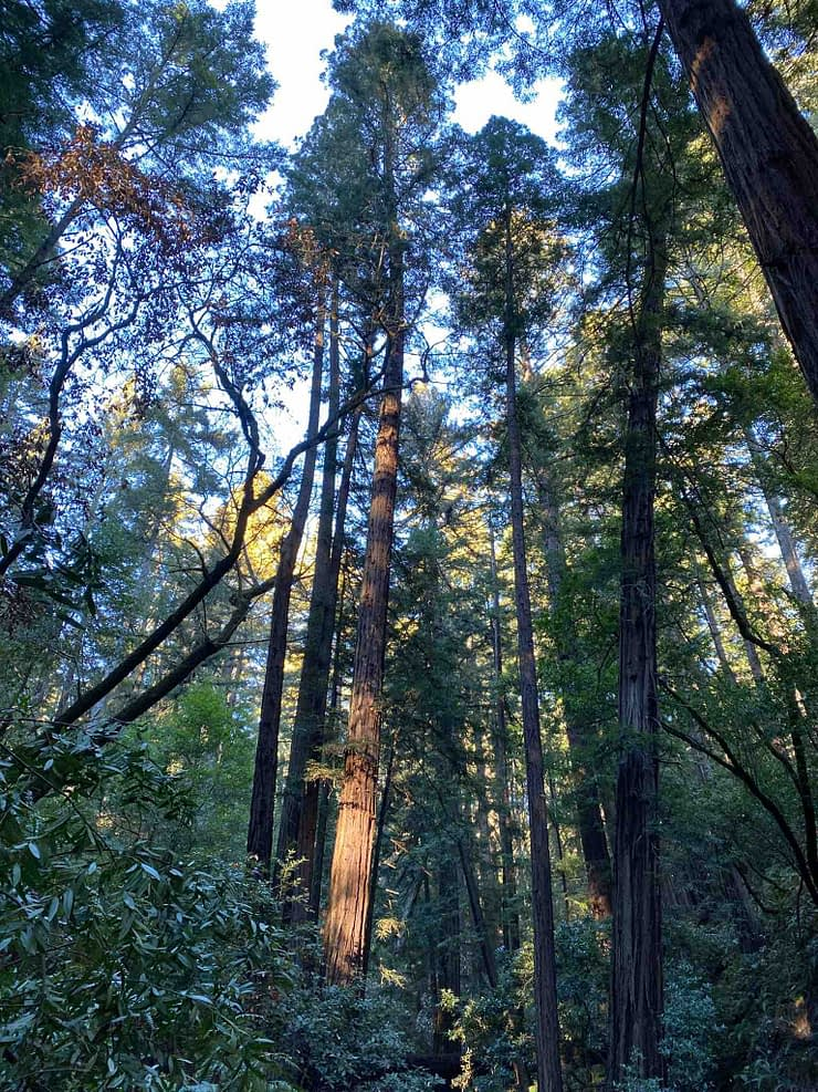Giant trees in Mount Tamalpais forest